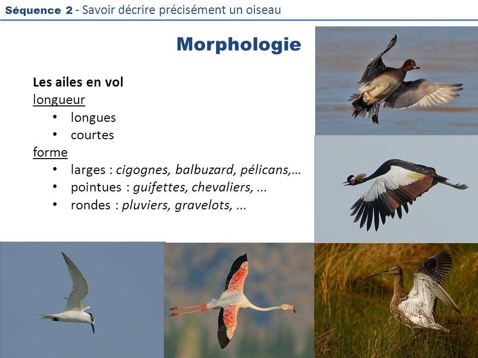 Morphologie Les ailes en vol longueur longues courtes forme