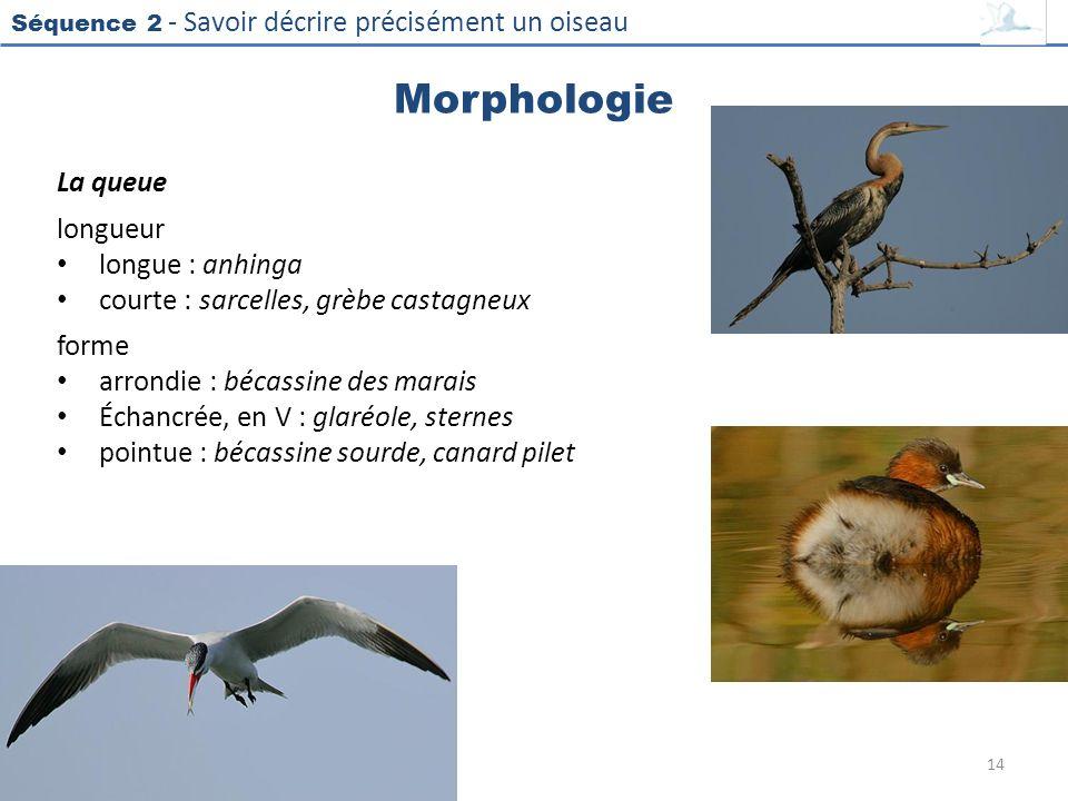 Morphologie La queue longueur longue : anhinga