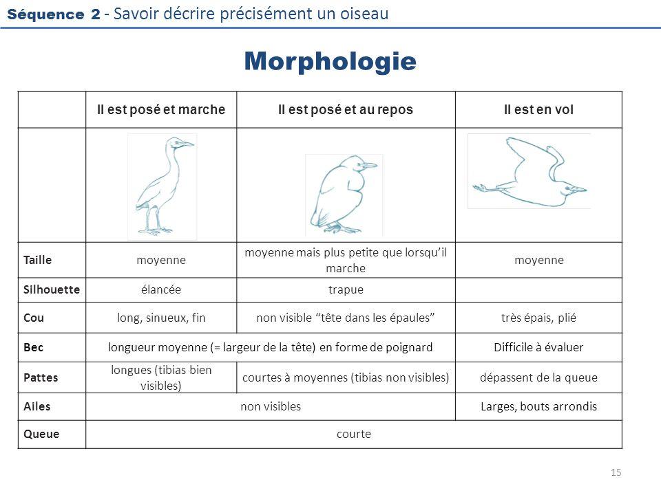 Morphologie Il est posé et marche Il est posé et au repos