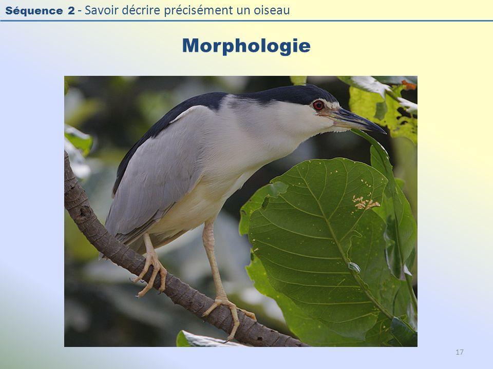 Morphologie Photo : Bihoreau gris - Black-crowned Night Heron - Nycticorax nycticorax. Exercice en salle : « Décrire la morphologie d'un oiseau »
