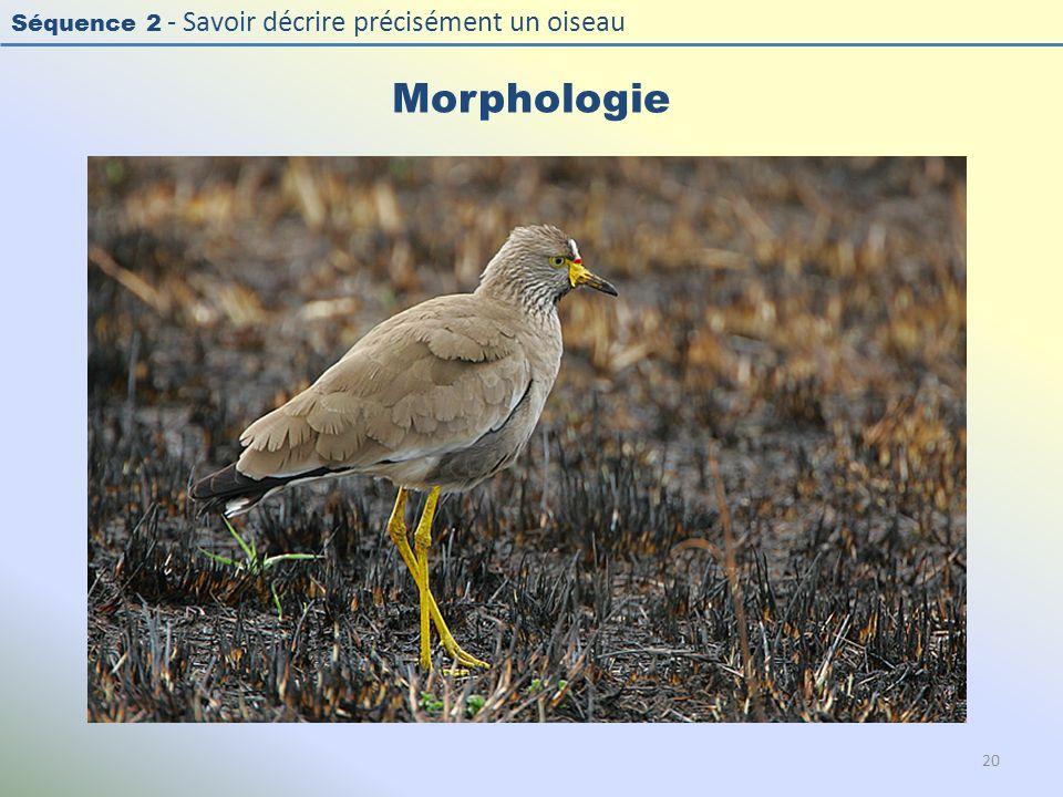Morphologie Photo : Vanneau du Sénégal - African Wattled Lapwing - Vanellus senegallus. Exercice en salle : « Décrire la morphologie d'un oiseau »