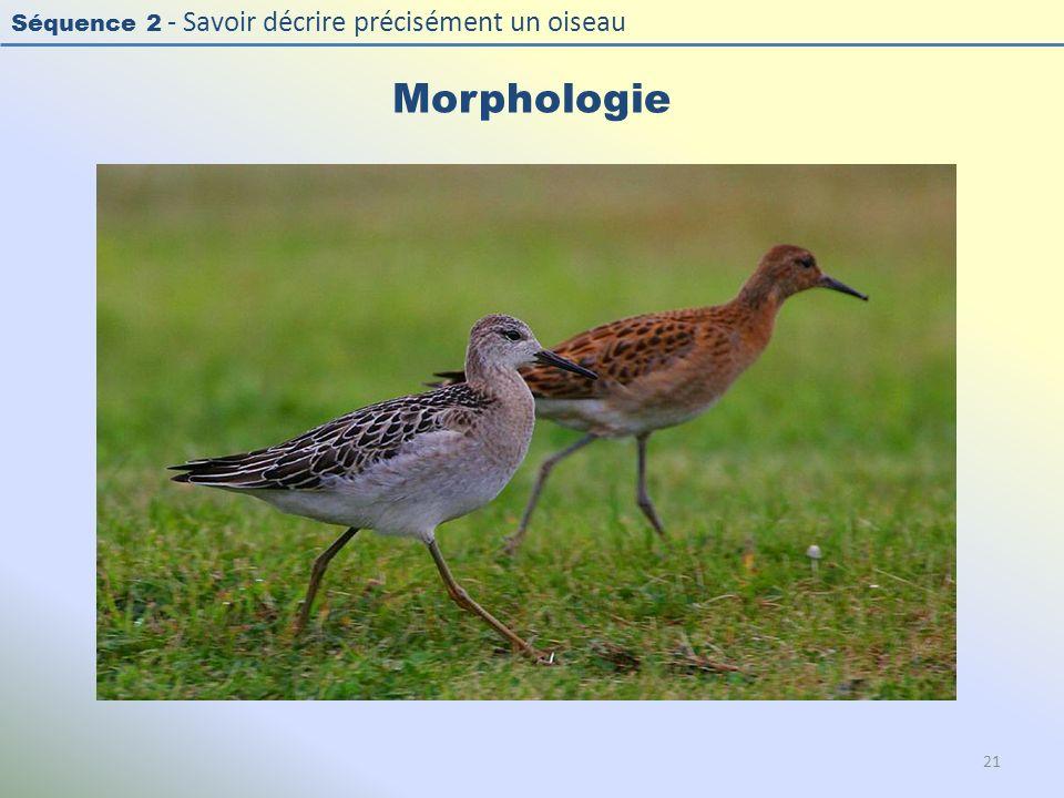 Morphologie Photo : Combattant varié – Ruff - Philomachus pugnax