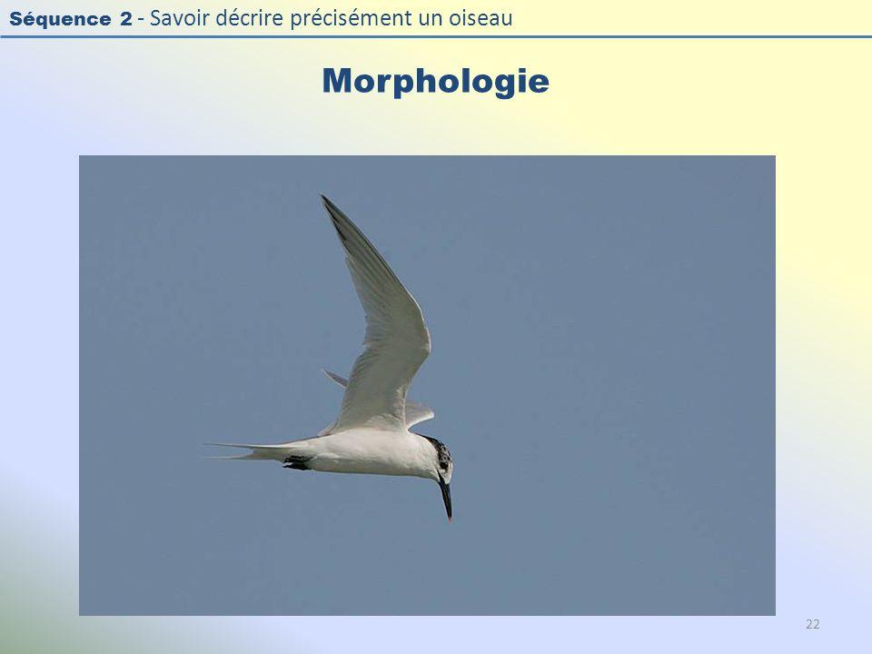 Morphologie Photo : Sterne caugek - Sandwich Tern - Sterna sandvicensis. Exercice en salle : « Décrire la morphologie d'un oiseau »