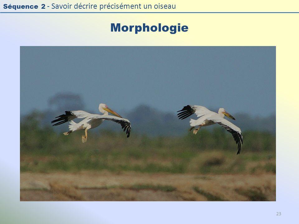 Morphologie Photo : Pélican blanc - Great White Pelican - Pelecanus onocrotalus. Exercice en salle : « Décrire la morphologie d'un oiseau »
