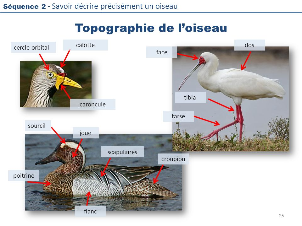 Topographie de l'oiseau