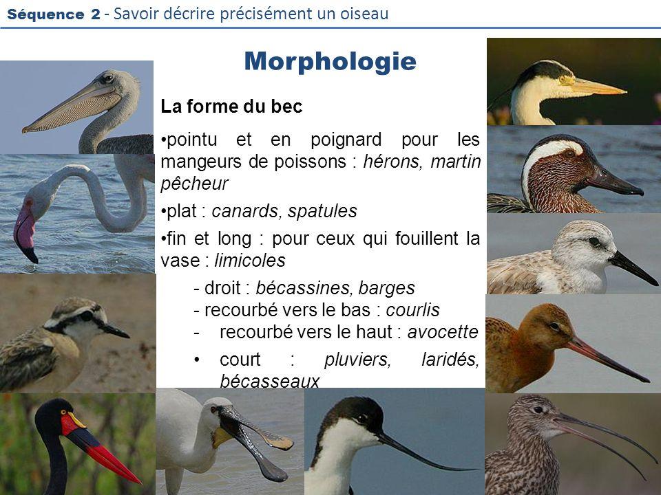 Morphologie La forme du bec
