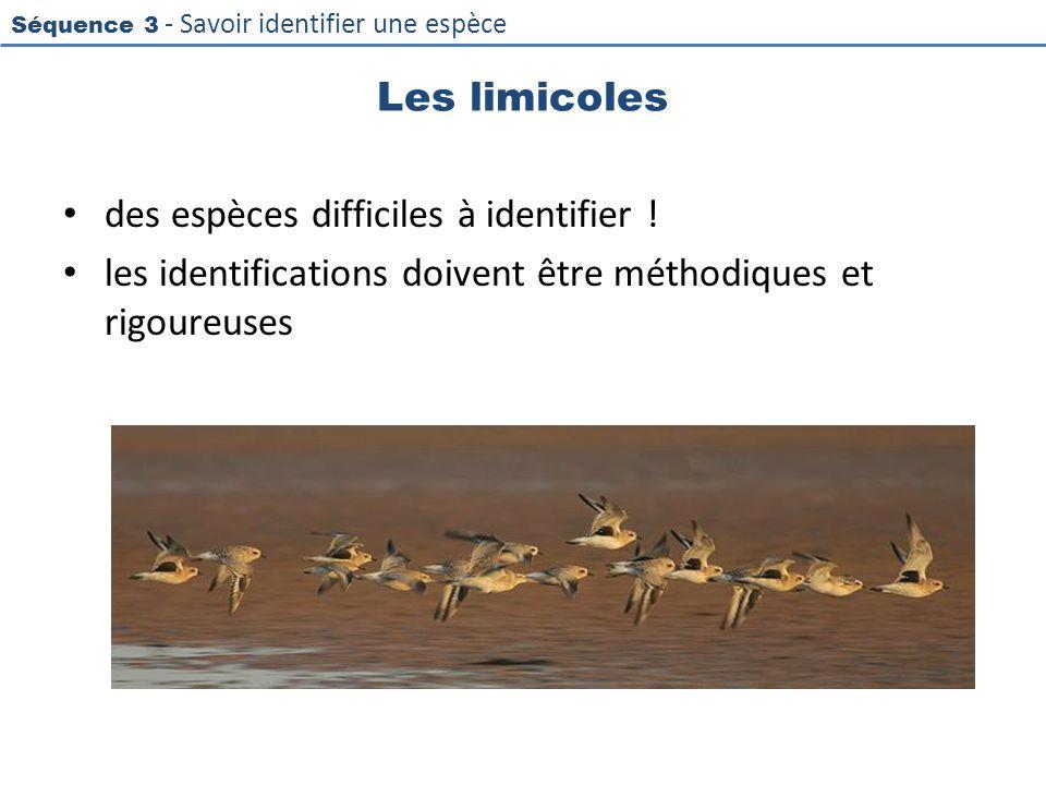 Les limicoles des espèces difficiles à identifier .