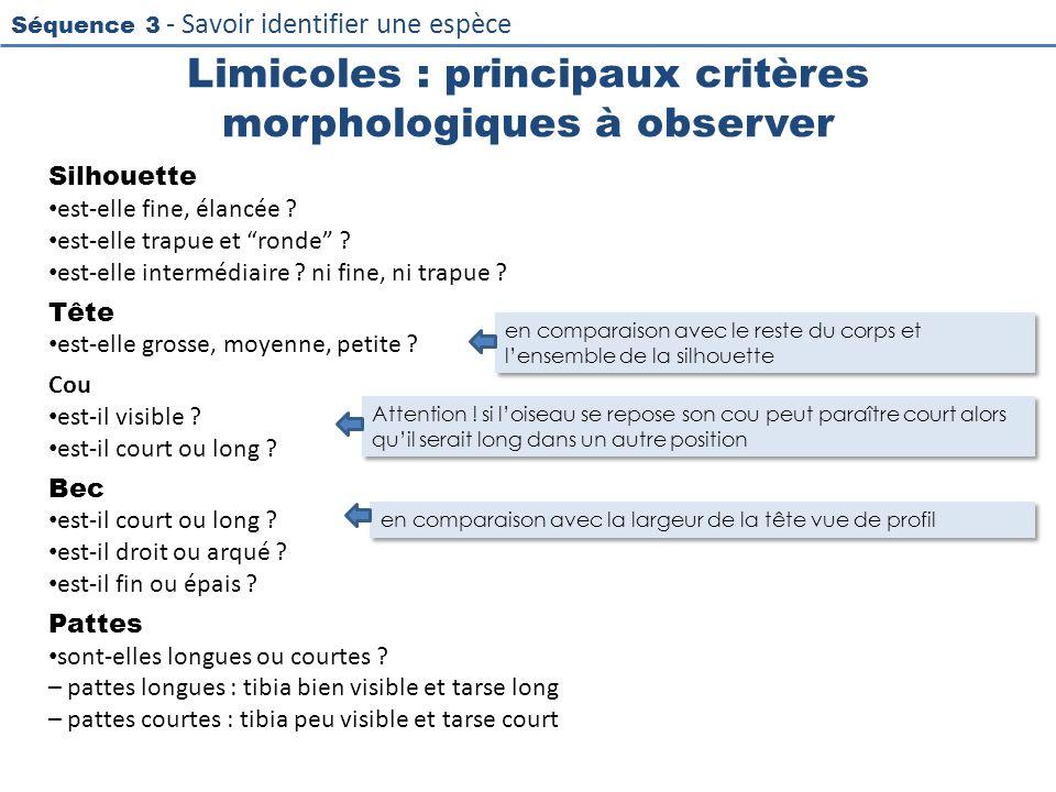 Limicoles : principaux critères morphologiques à observer