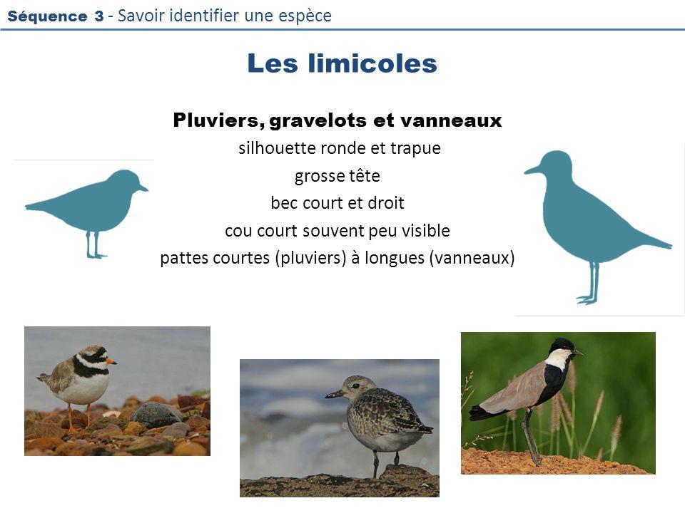 Les limicoles