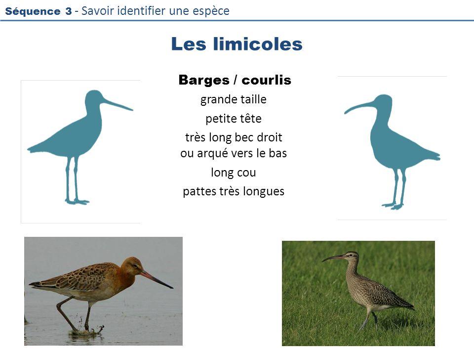 Les limicoles Barges / courlis grande taille petite tête très long bec droit ou arqué vers le bas long cou pattes très longues