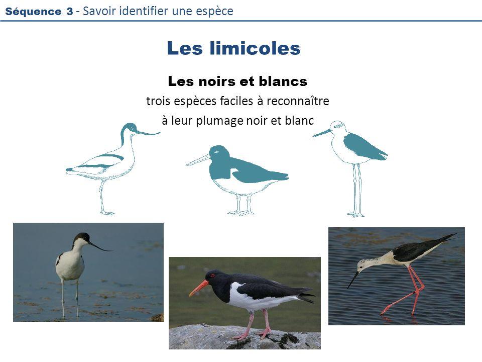 Les limicoles Les noirs et blancs trois espèces faciles à reconnaître à leur plumage noir et blanc