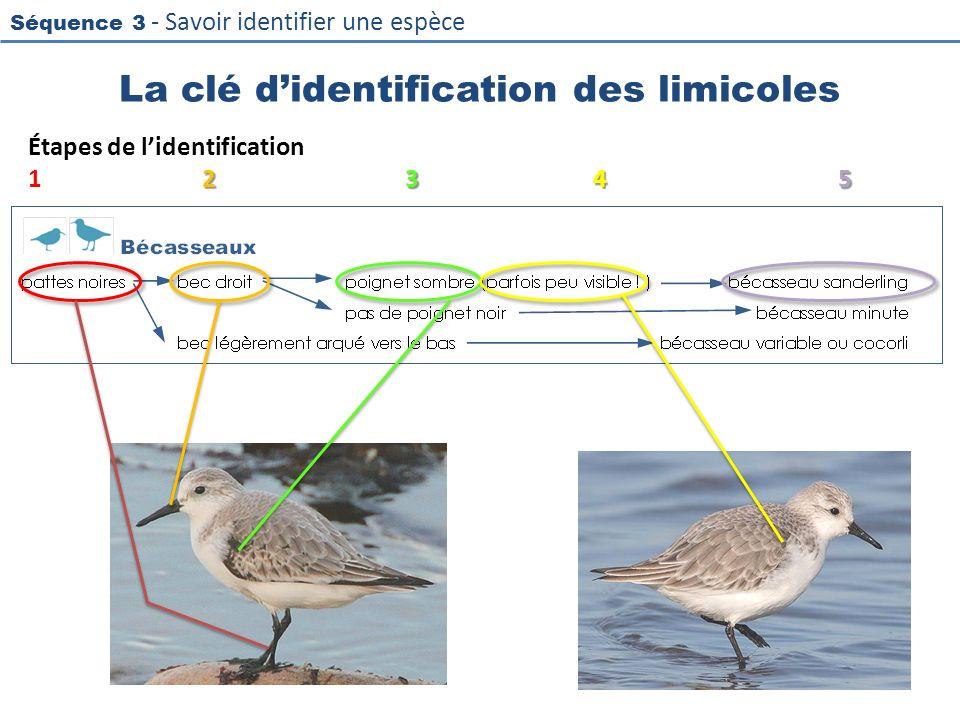 La clé d'identification des limicoles