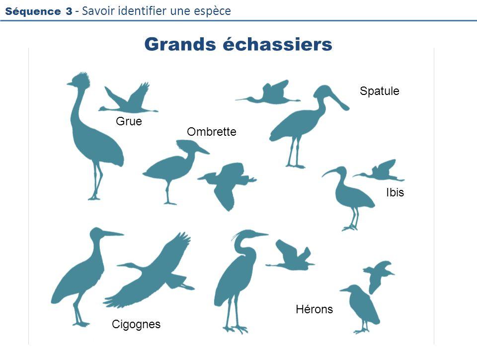 Grands échassiers Spatule Grue Ombrette Ibis Hérons Cigognes