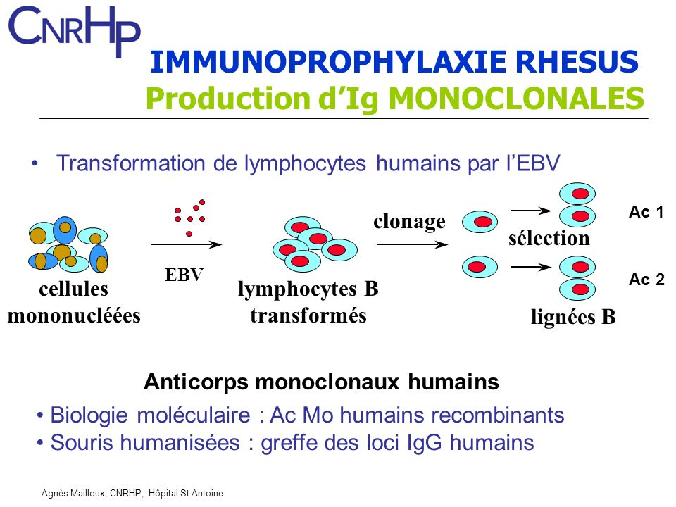 IMMUNOPROPHYLAXIE RHESUS Production d'Ig MONOCLONALES