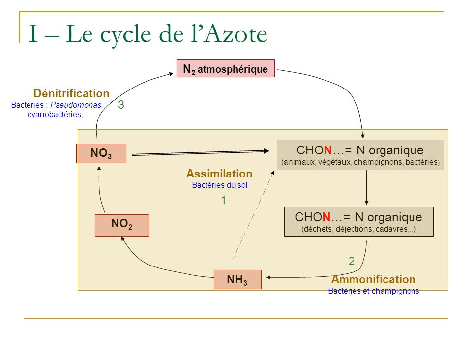 I – Le cycle de l'Azote CHON…= N organique CHON…= N organique 3 1 2