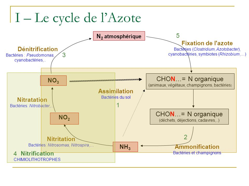 I – Le cycle de l'Azote CHON…= N organique CHON…= N organique 5 3 1 2