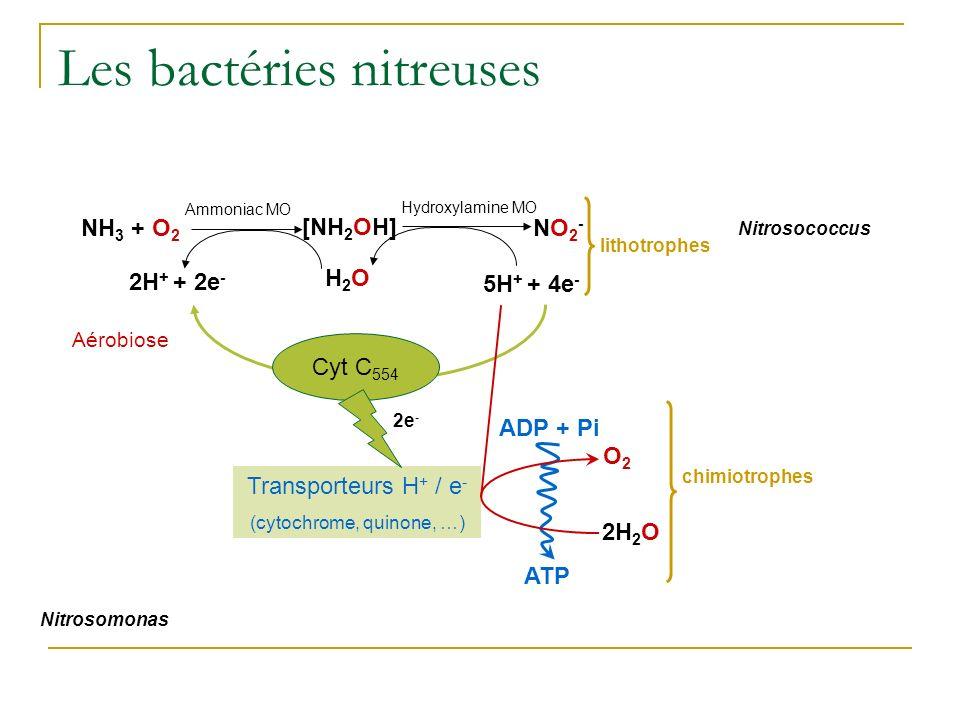 Les bactéries nitreuses