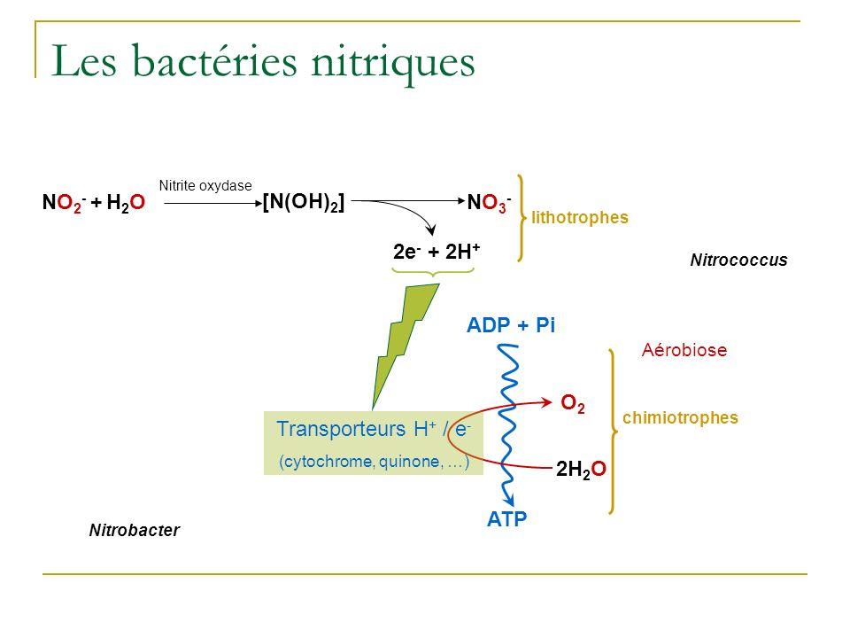 Les bactéries nitriques