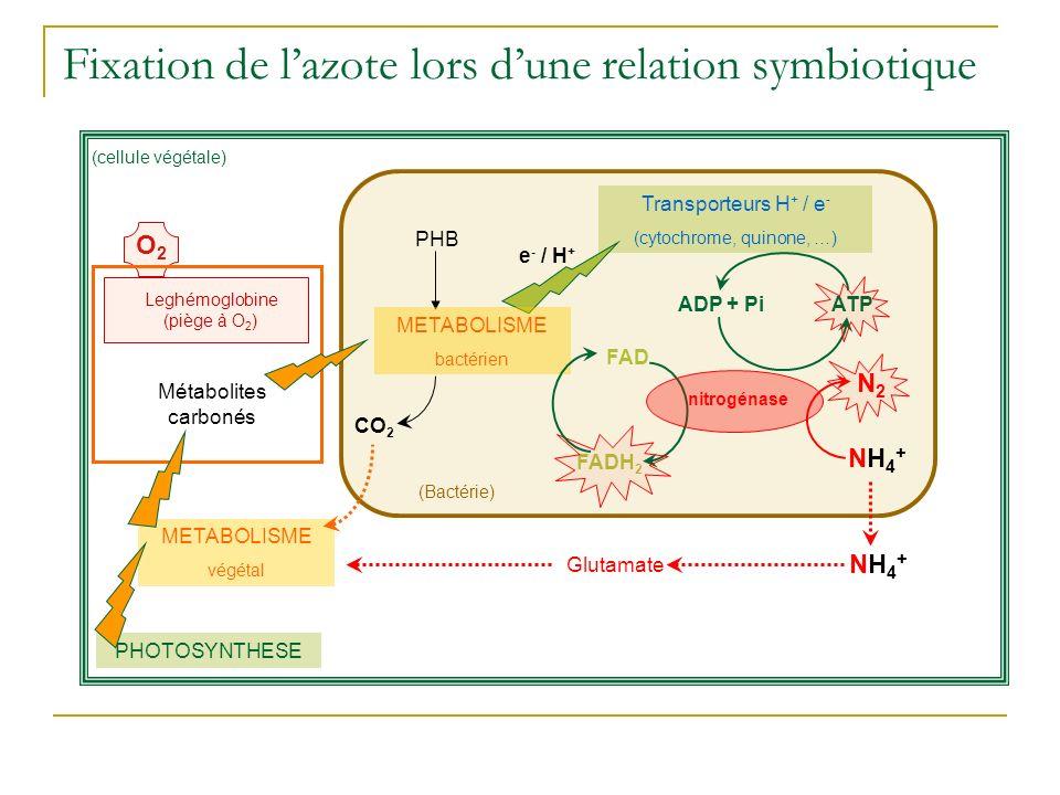 Fixation de l'azote lors d'une relation symbiotique