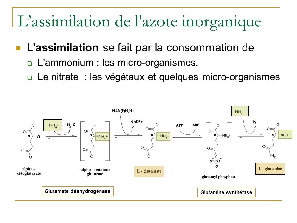 L'assimilation de l azote inorganique