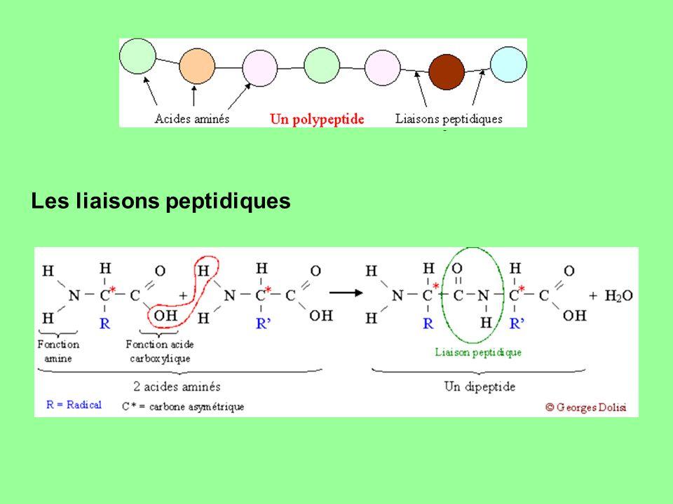 Les liaisons peptidiques