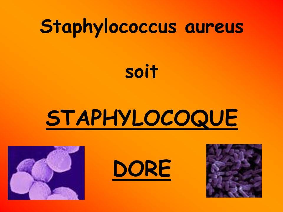 Staphylococcus aureus soit STAPHYLOCOQUE DORE