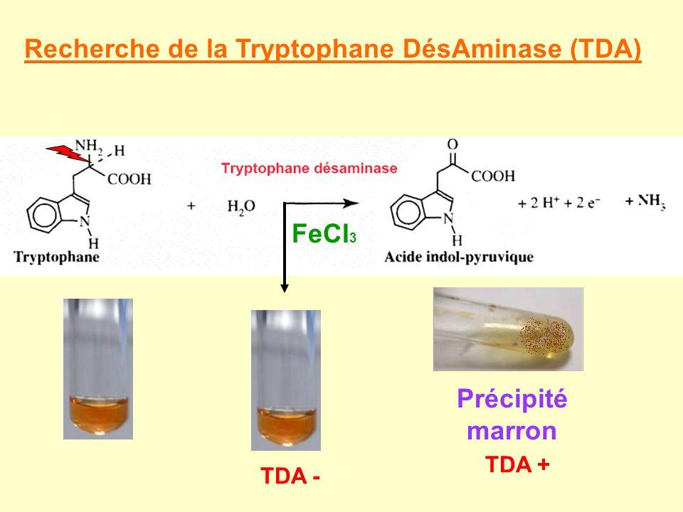 Recherche de la Tryptophane DésAminase (TDA)