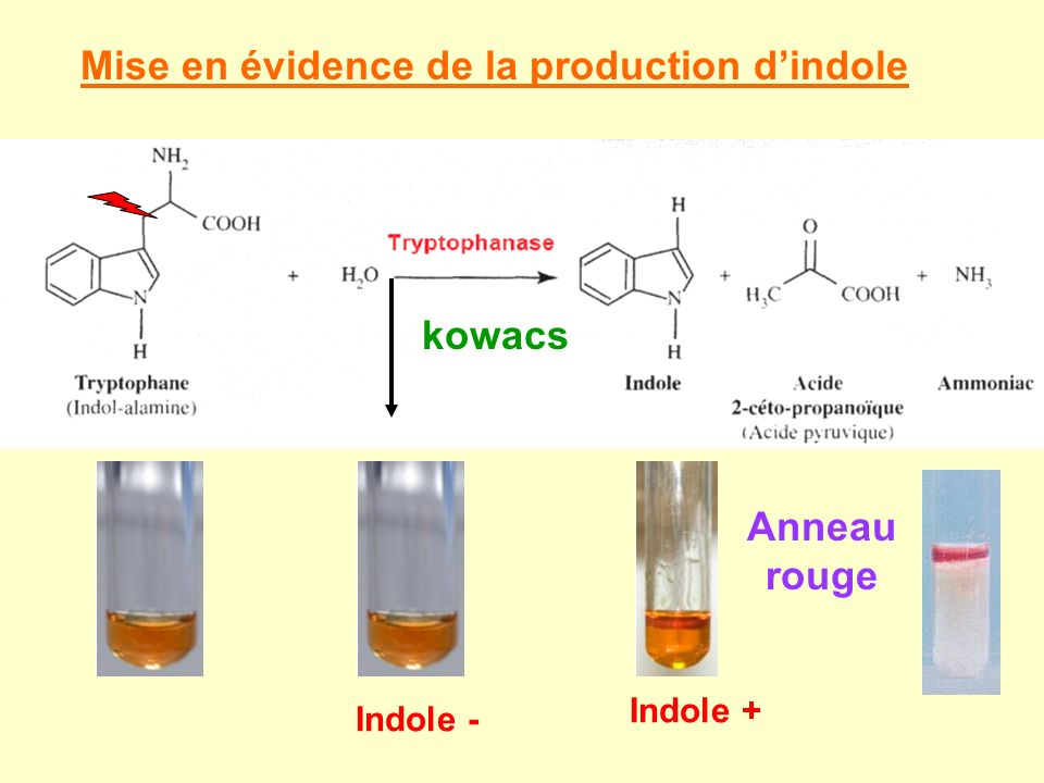 Mise en évidence de la production d'indole