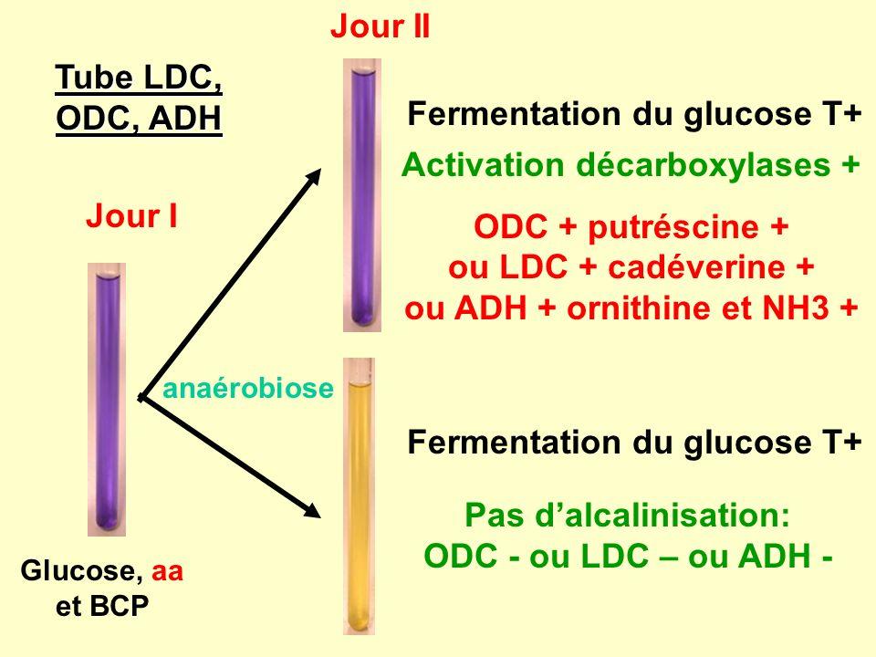 Fermentation du glucose T+