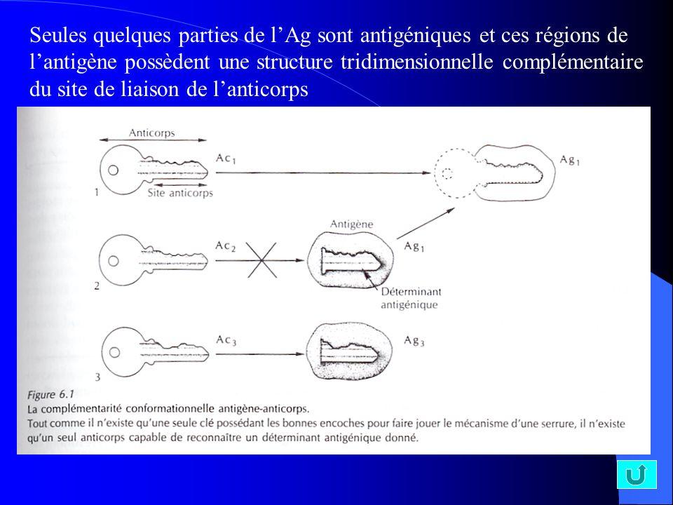 Seules quelques parties de l'Ag sont antigéniques et ces régions de l'antigène possèdent une structure tridimensionnelle complémentaire du site de liaison de l'anticorps