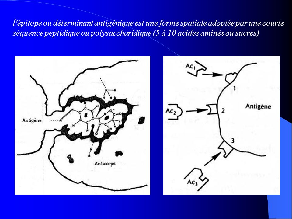 l épitope ou déterminant antigénique est une forme spatiale adoptée par une courte séquence peptidique ou polysaccharidique (5 à 10 acides aminés ou sucres)