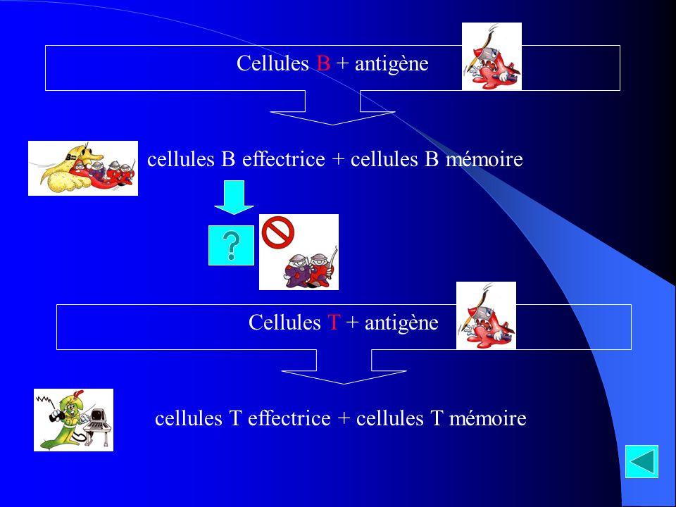 cellules B effectrice + cellules B mémoire