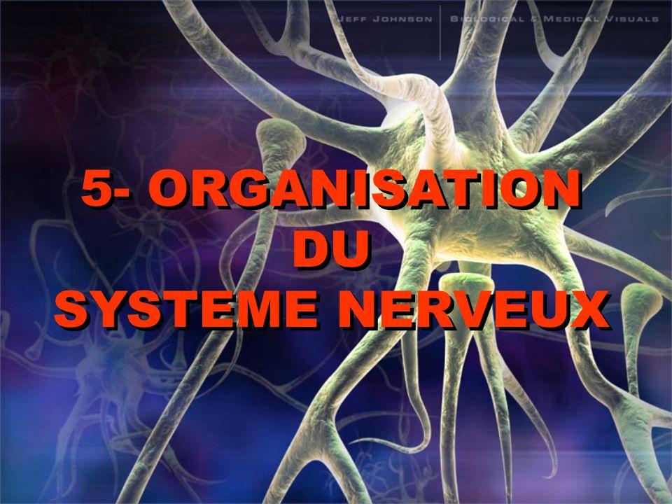 5- ORGANISATION DU SYSTEME NERVEUX