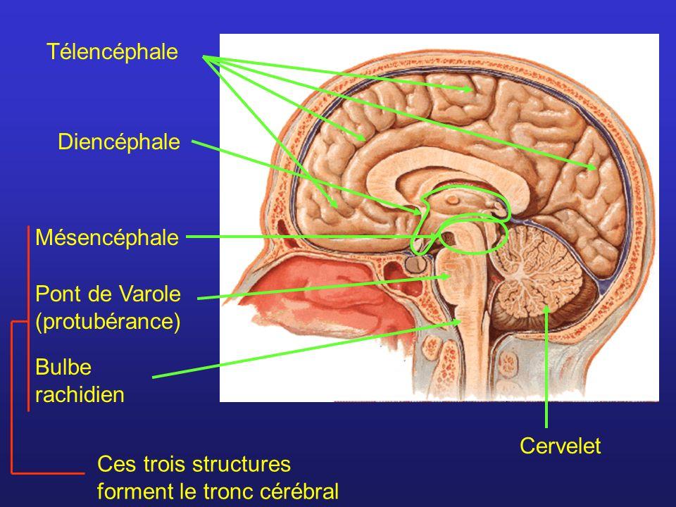 TélencéphaleDiencéphale. Mésencéphale. Pont de Varole (protubérance) Bulbe rachidien. Ces trois structures forment le tronc cérébral.