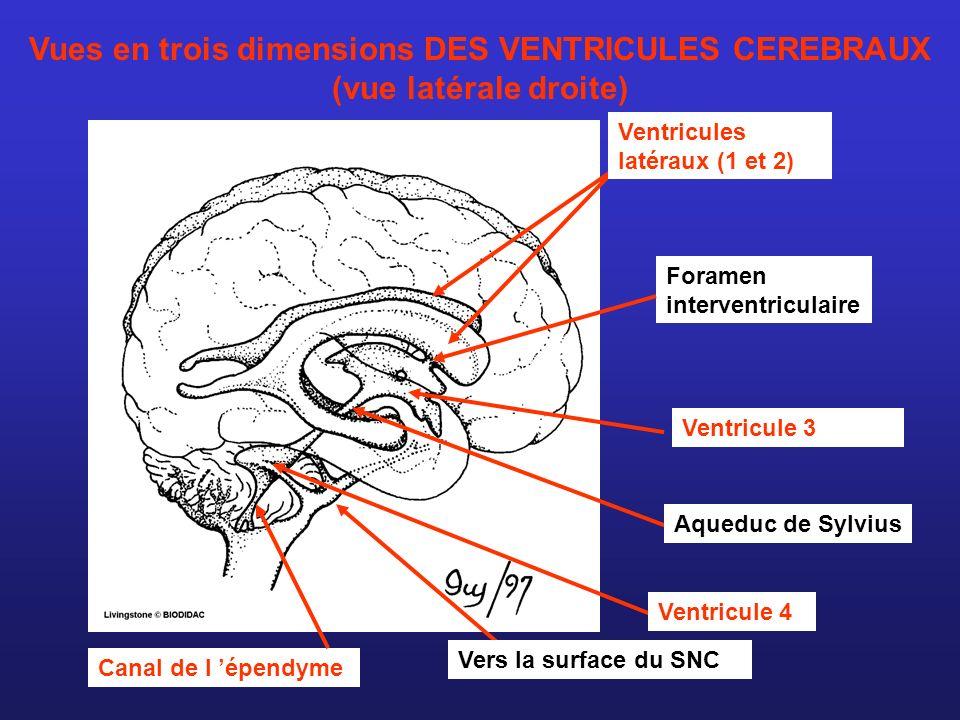 Vues en trois dimensions DES VENTRICULES CEREBRAUX (vue latérale droite)