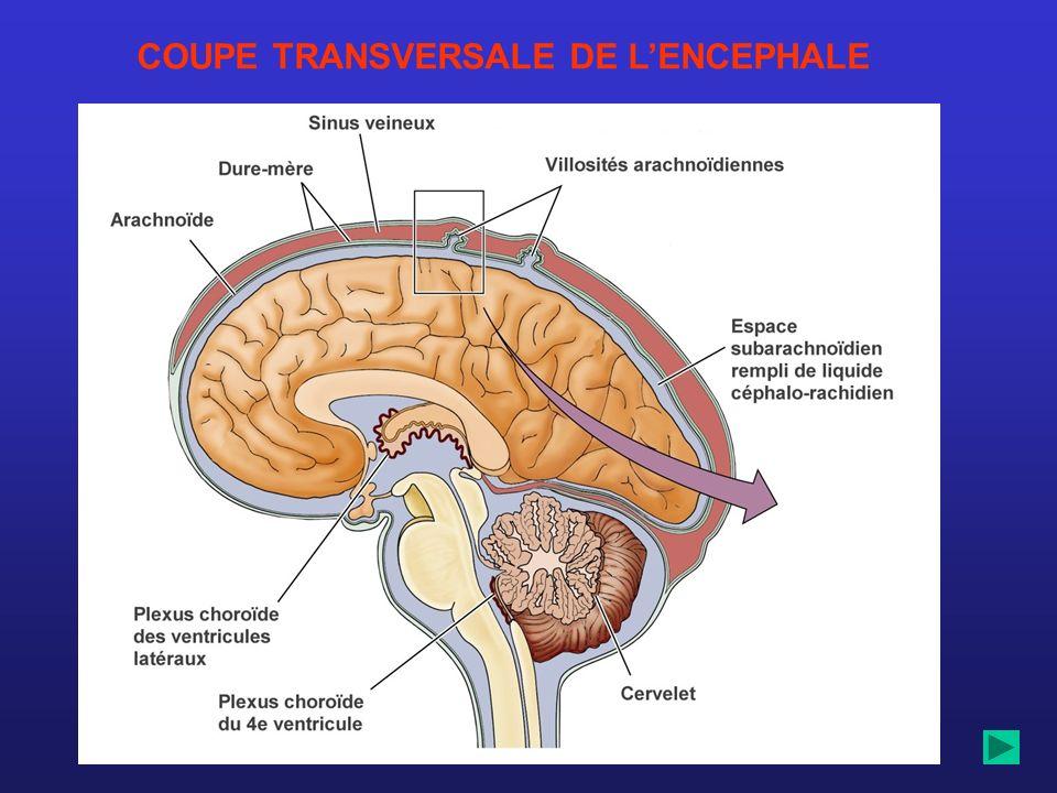 COUPE TRANSVERSALE DE L'ENCEPHALE