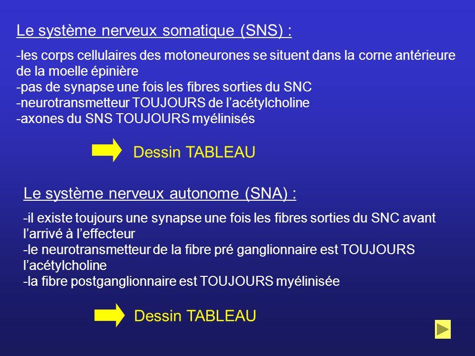 Le système nerveux somatique (SNS) :