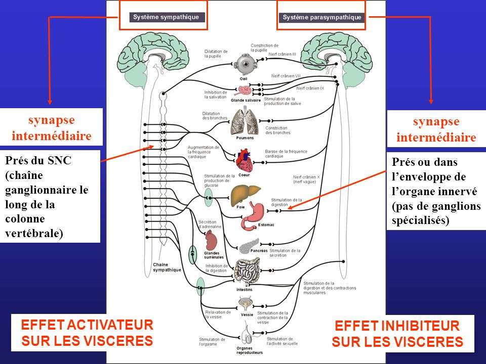 synapse intermédiaire synapse intermédiaire