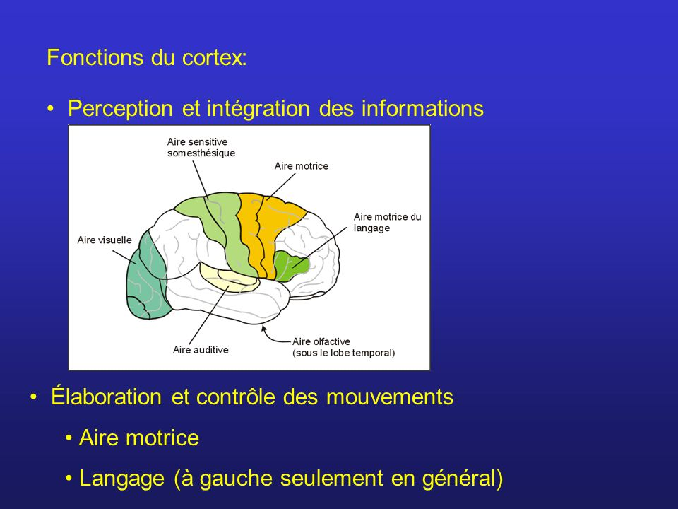 Fonctions du cortex: Perception et intégration des informations. Élaboration et contrôle des mouvements.