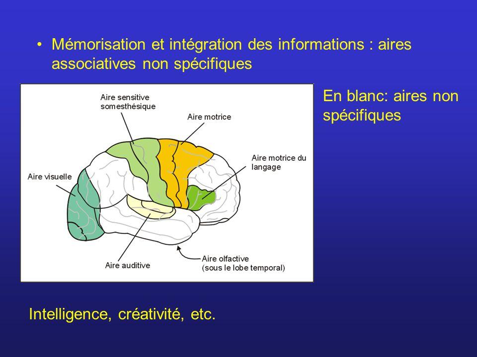 Mémorisation et intégration des informations : aires associatives non spécifiques