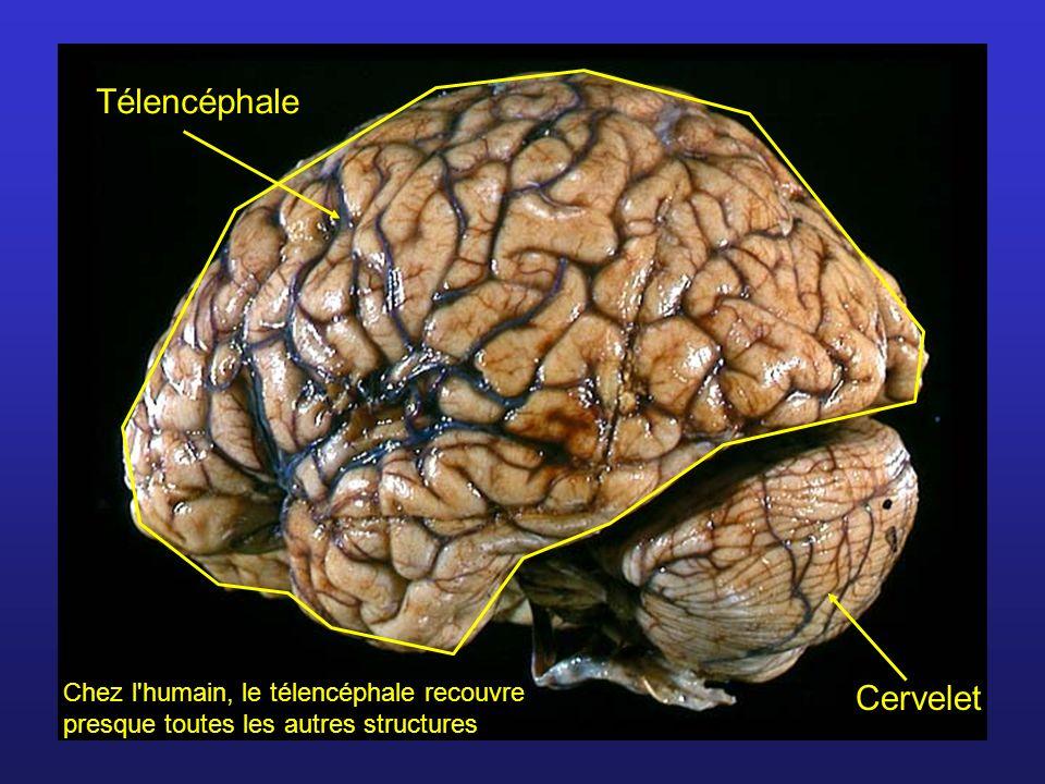 Télencéphale Cervelet
