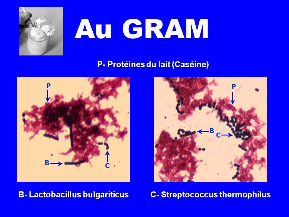 Au GRAM P- Protéines du lait (Caséine) B- Lactobacillus bulgariticus