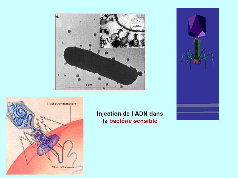 Injection de l'ADN dans la bactérie sensible