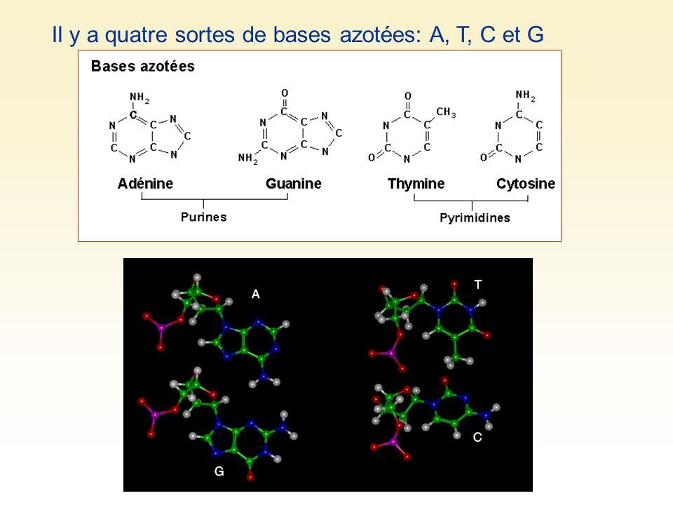 Il y a quatre sortes de bases azotées: A, T, C et G