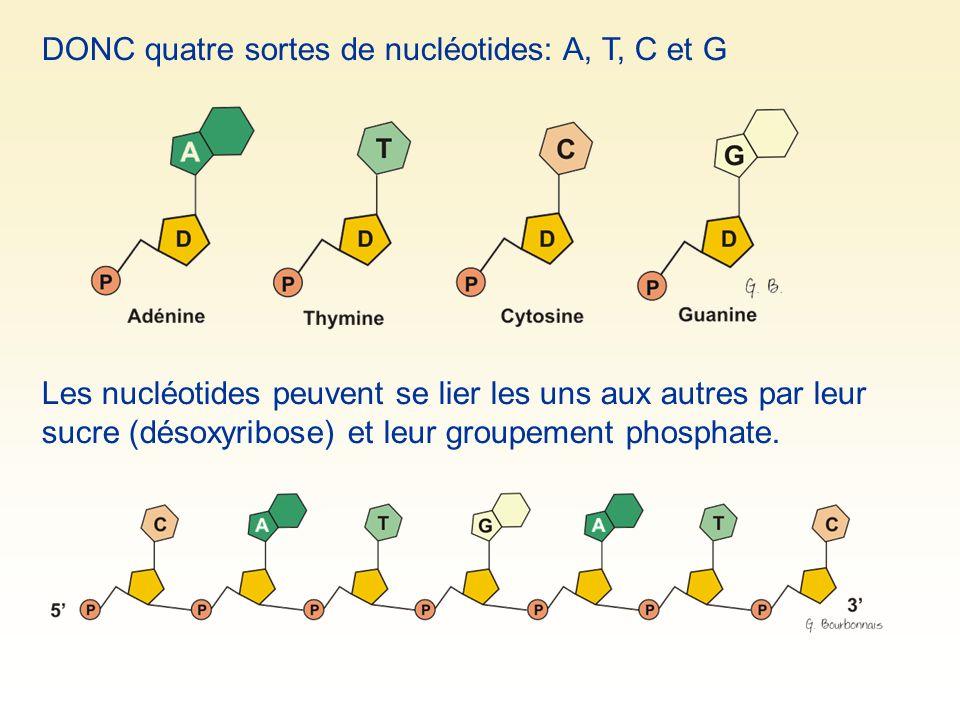 DONC quatre sortes de nucléotides: A, T, C et G