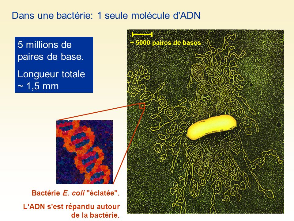 Dans une bactérie: 1 seule molécule d ADN