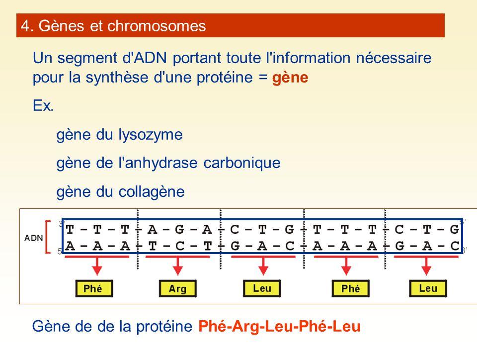 4. Gènes et chromosomes Un segment d ADN portant toute l information nécessaire pour la synthèse d une protéine = gène.