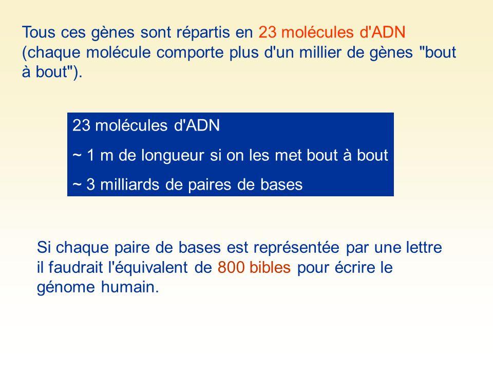 Tous ces gènes sont répartis en 23 molécules d ADN (chaque molécule comporte plus d un millier de gènes bout à bout ).