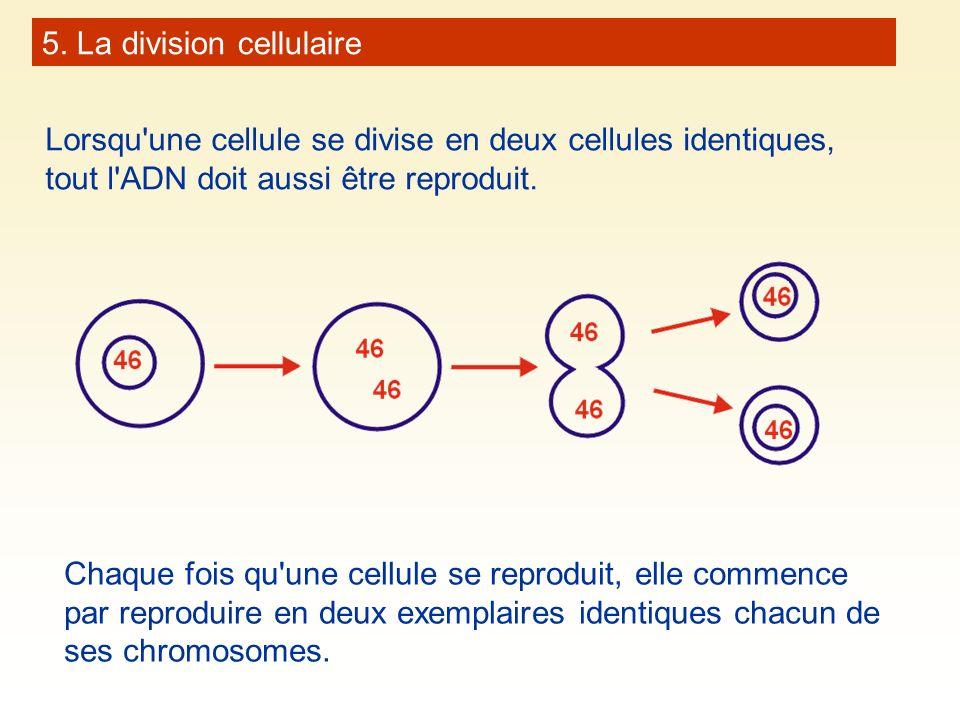 5. La division cellulaire