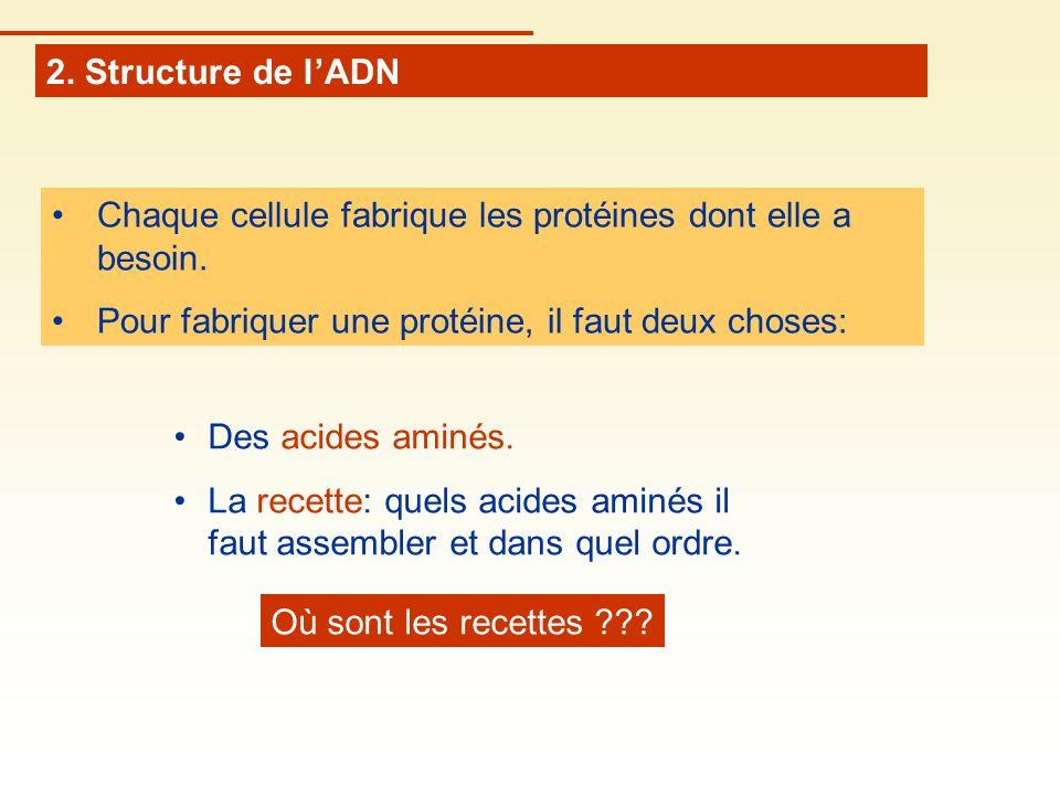 2. Structure de l'ADN Chaque cellule fabrique les protéines dont elle a besoin. Pour fabriquer une protéine, il faut deux choses: